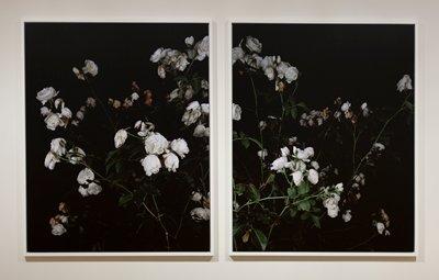 [MP-JONES-00410] a: (II) a photograph of wilted white roses on a black background; stems go from LR corner diagonally upward to UL corner [MP-JONES-00415] b: (III) a photograph of wilted white roses on a black background; stems go from LL corner diagonally upward to UR corner