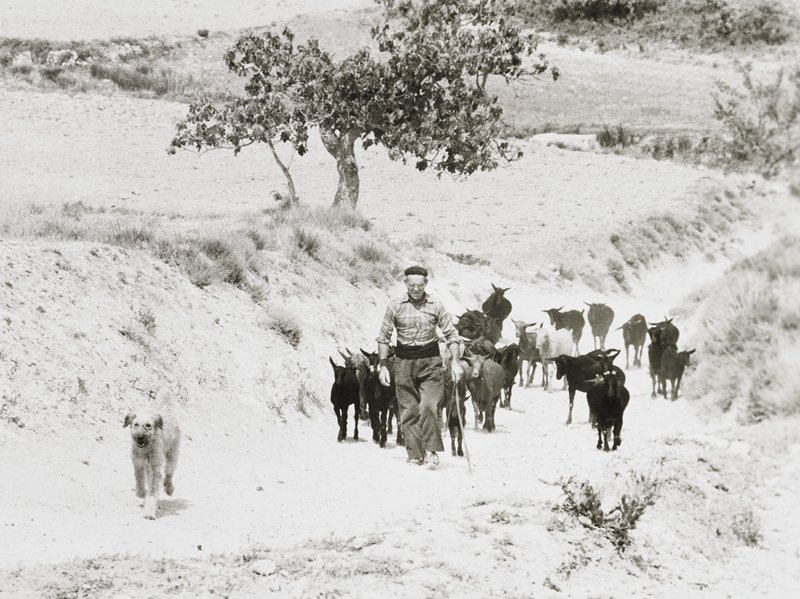 herdsman walking down a dirt path, followed by a herd of goats, preceded by a dog; tree on rise above path