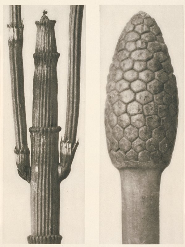 two separate images of plant stems; (a) stalky, spiked stem with short central element and two long outer elements; (b) finial-like element with overall hexagonal shapes