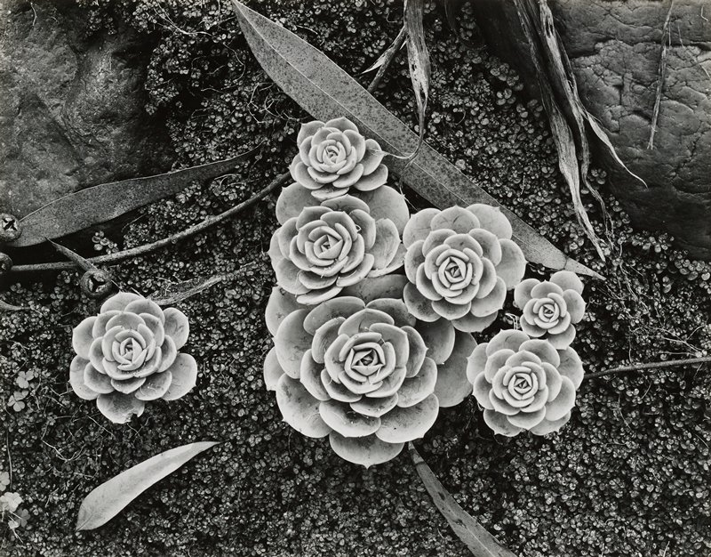 succulent plants with thick leaves in floral shapes, similar to artichoke; dense plants with tiny leaves surround larger plants; rocks in upper corners