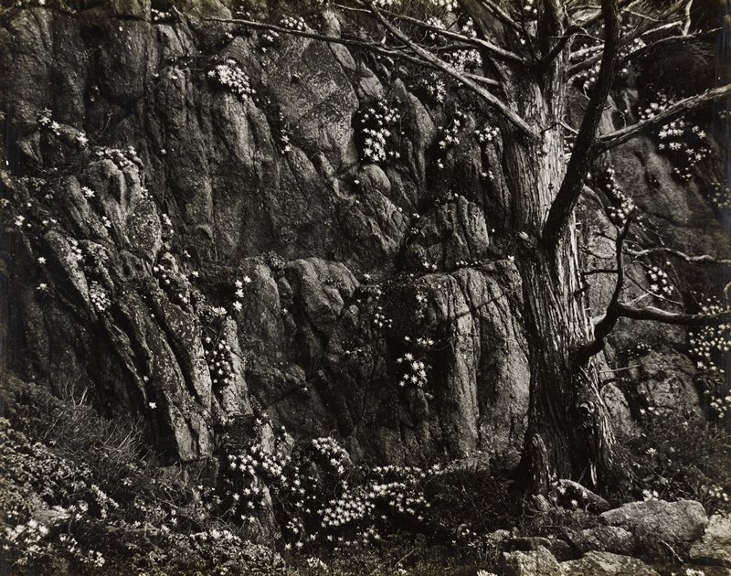 gnarled tree at right; rock wall with tiny white flowers