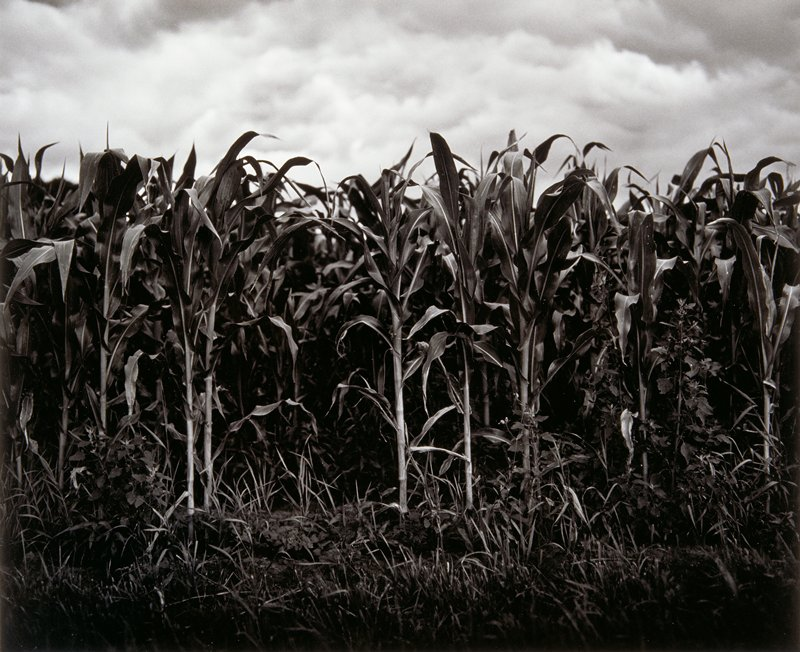 Thick corn plants and scattered weeds in foreground
