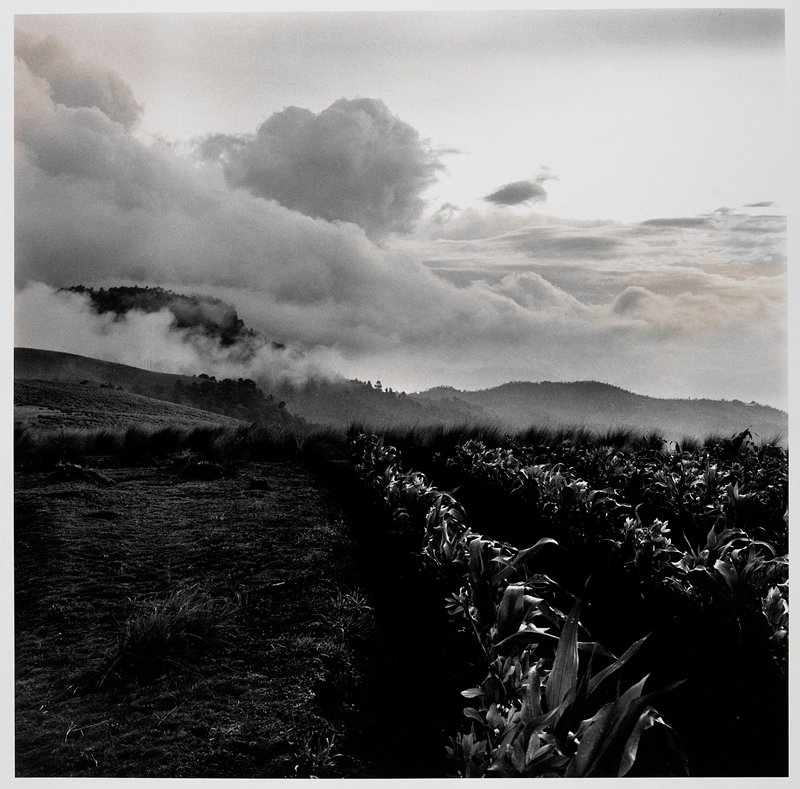 rows of plants at R with hills, partially obscured by low, thick clouds, in background