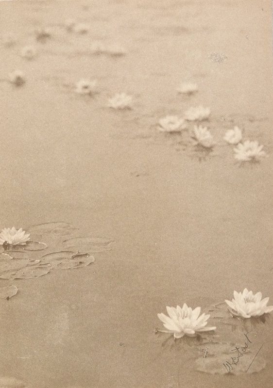 water lily blossoms on calm water