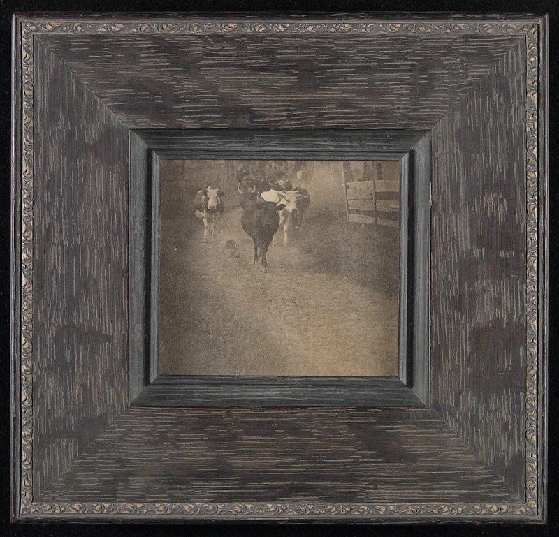 herd of cows, facing camera, walking down a path; fence at R