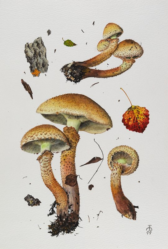 watercolor of 3 specimens of mushroom; brown with rough caps and stems; leaf and twig specimens between and around mushrooms, with red and yellow leaf at right; mounted and matted