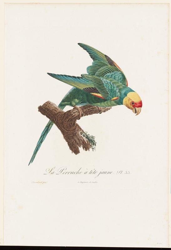 Plate 33 Birds (Carolina parakeet) Per cat.card: De l'Imprimerie de Langlois.