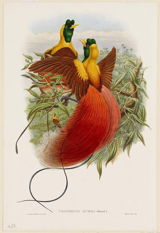 birds (red bird of paradise)
