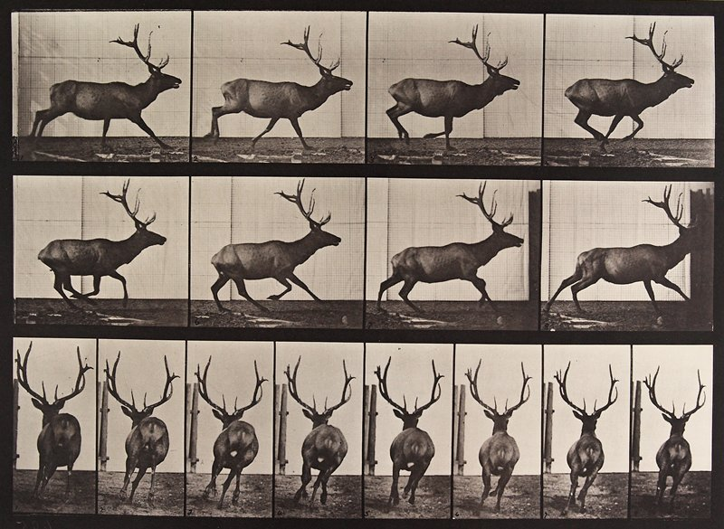 Elk, galloping. From a portfolio of 83 collotypes, 1887, by Edweard Muybridge; part of 781 plates published under the auspices of the University of Pennsylvania