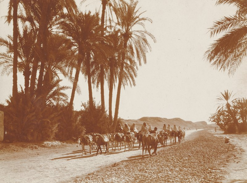 people riding on donkeys, with other donkeys with packs, on a path; cow walking in opposite direction as donkeys; palm trees; Morocco