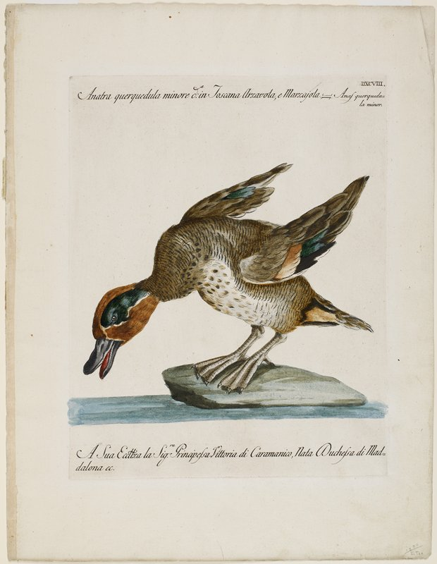 duck, leaning forward, standing on a rock; brown head with green around eyes; text at top and bottom