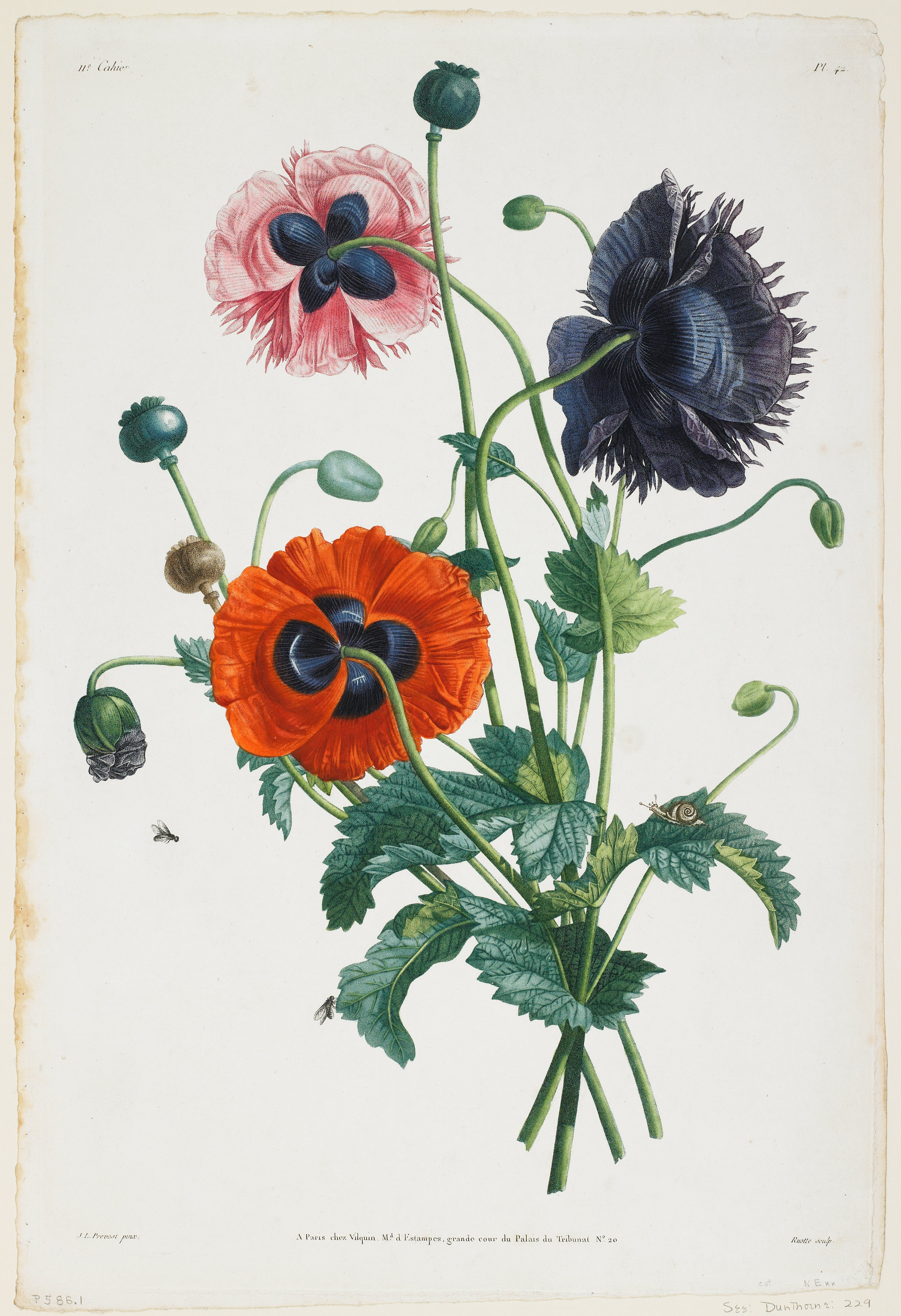 Study Of Three Types Of Poppies After Jean Louis Prvost Engraver